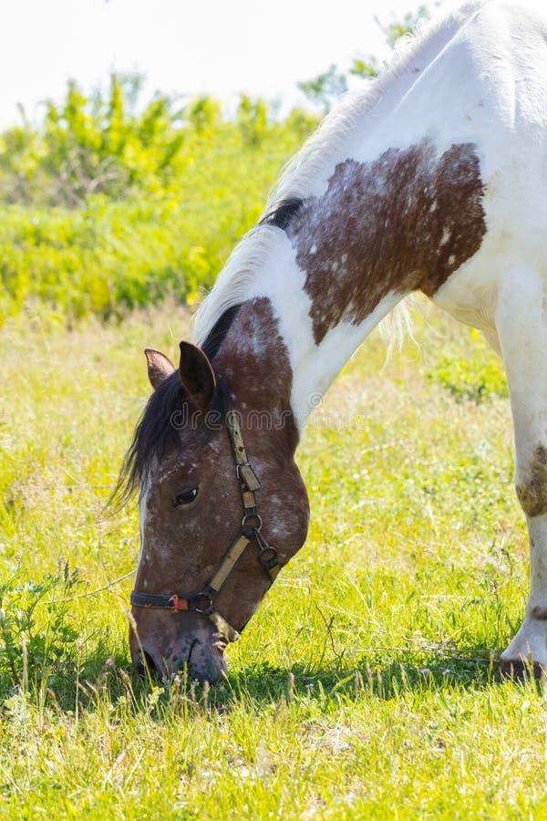 Крупный план портрета лошади стоковые фотографии rf