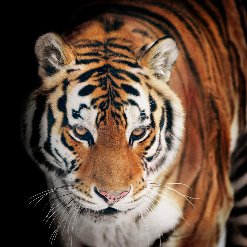 Крупный план портрета тигра на черноте стоковое фото