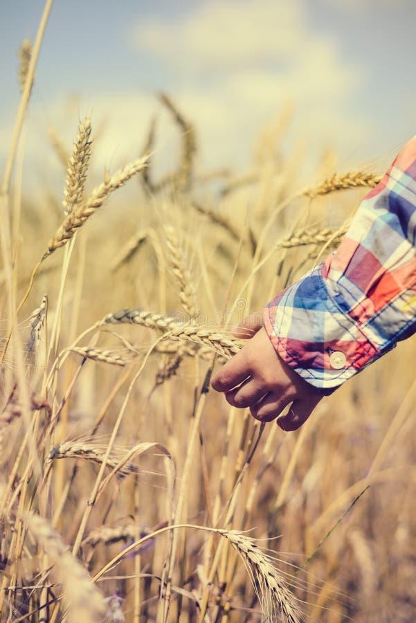 Крупный план руки ребенка держа золотой шип пшеницы стоковые фотографии rf