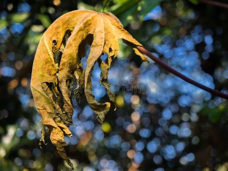 Крупный план сухих лист папапайи стоковые фото