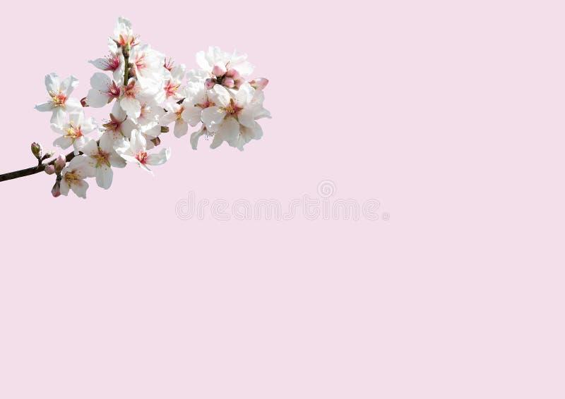 Крупный план цветения миндалины стоковые фото