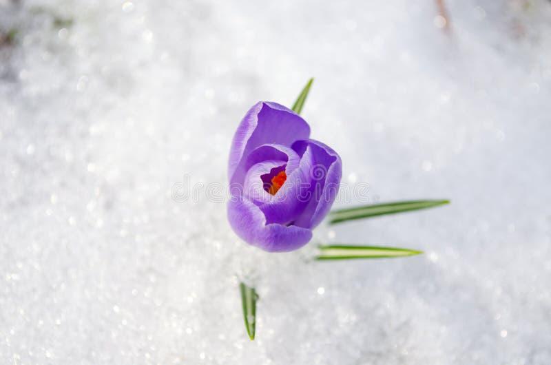 Крупный план цветеня весны крокуса шафрана голубой в снежке стоковое изображение