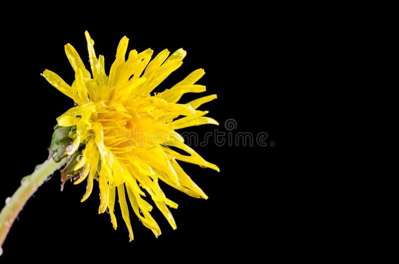 Download Крупный план цветка одуванчика Стоковое Фото - изображение насчитывающей конец, blooping: 40585696