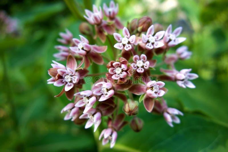 Крупный план цветка Milkweed стоковое фото