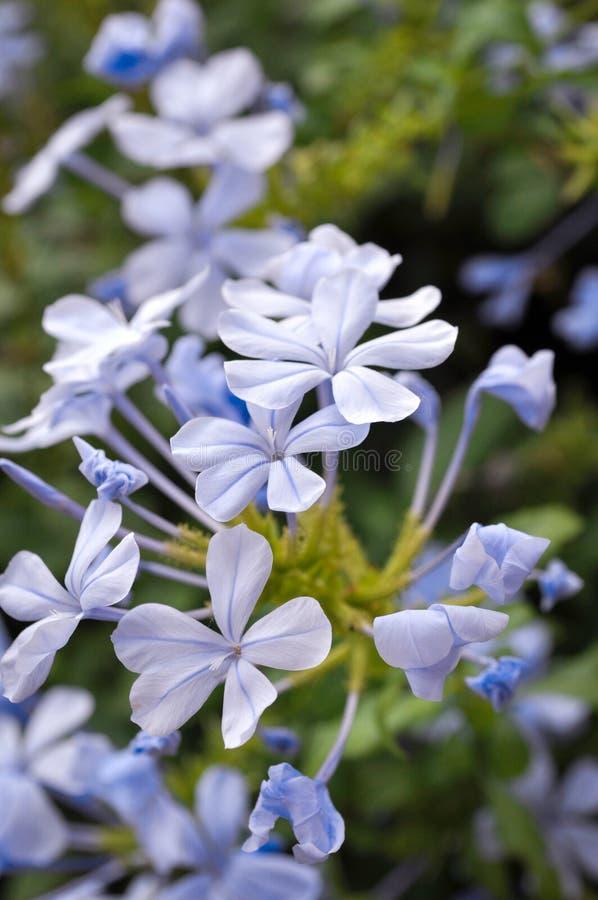 Крупный план цветков голубого жасмина, бутонов и малых ветвей стоковая фотография rf