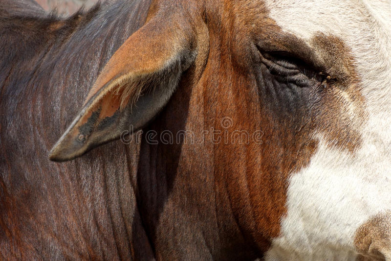 Крупный план Bull глаза и уха быков стоковые изображения