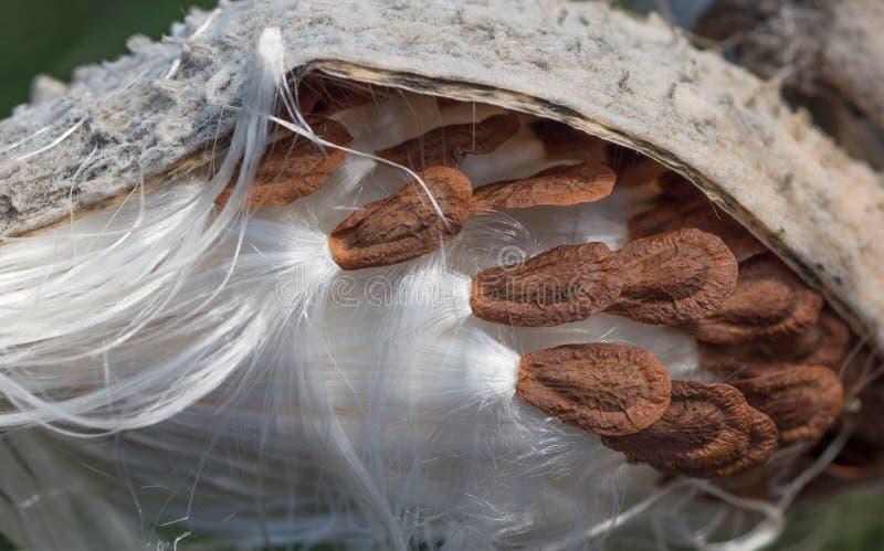 Крупный план Milkweed стоковая фотография