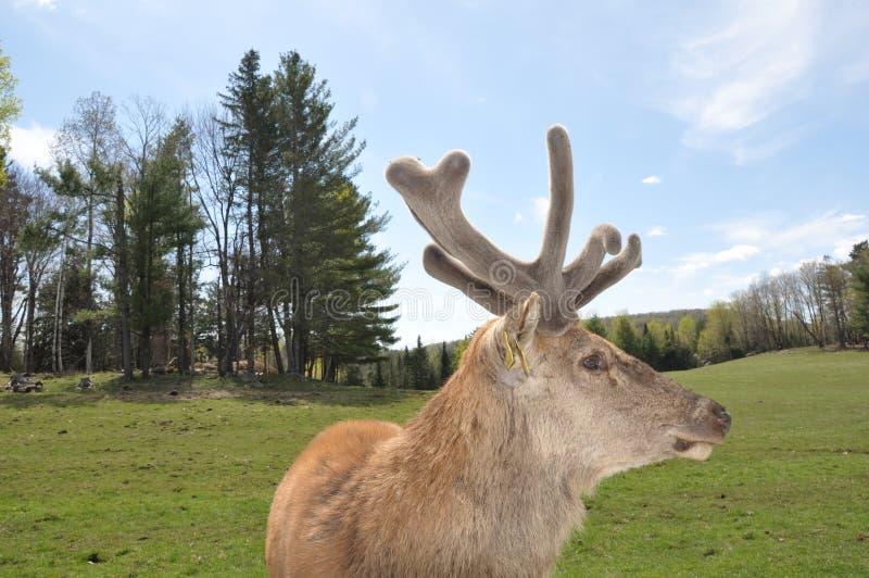 Крупный план Sideview лося с новыми Antlers стоковая фотография rf