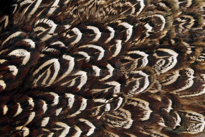 крыло plumage фазана стоковые изображения