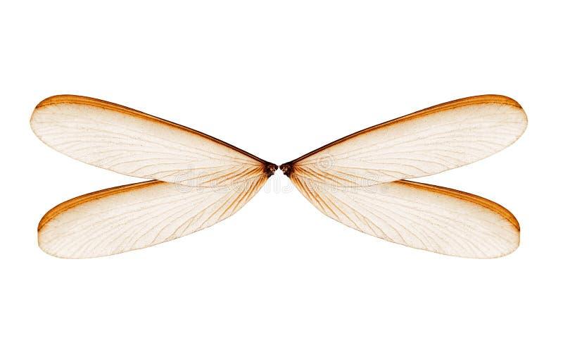 Крылья термита или alates насекомых изолированных на белизне стоковые фото