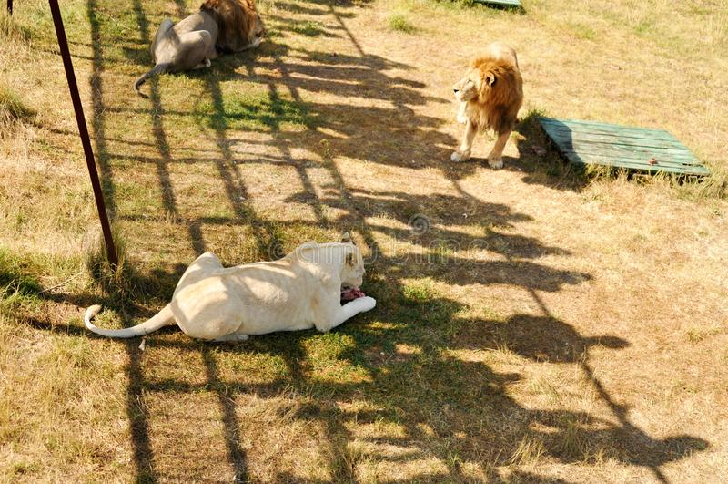 Крым Парк львов 24-ое августа 2018 Тени людей наблюдая питаться львов на позволенный осмотреть платформы стоковое изображение