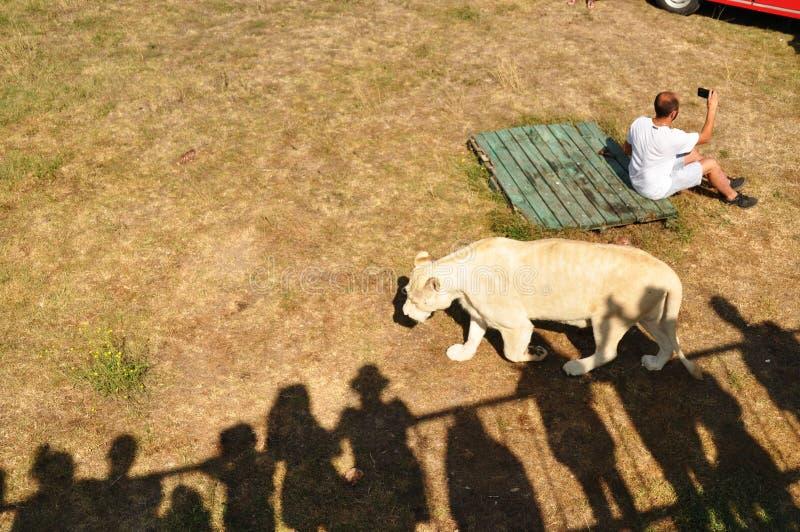 Крым Парк львов 24-ое августа 2018 Тени людей на позволенных осматривая платформах, наблюдая по мере того как человек сфотографир стоковые изображения rf