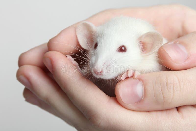 Крыса лаборатории стоковое изображение rf