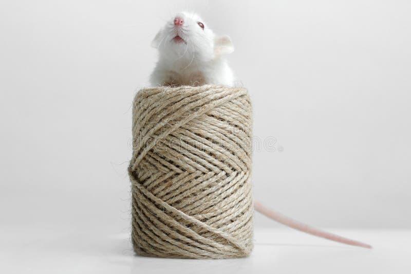 Крыса лаборатории стоковое фото rf