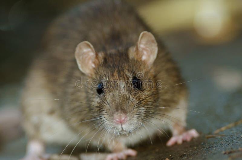 Крыса Брайна стоковые изображения