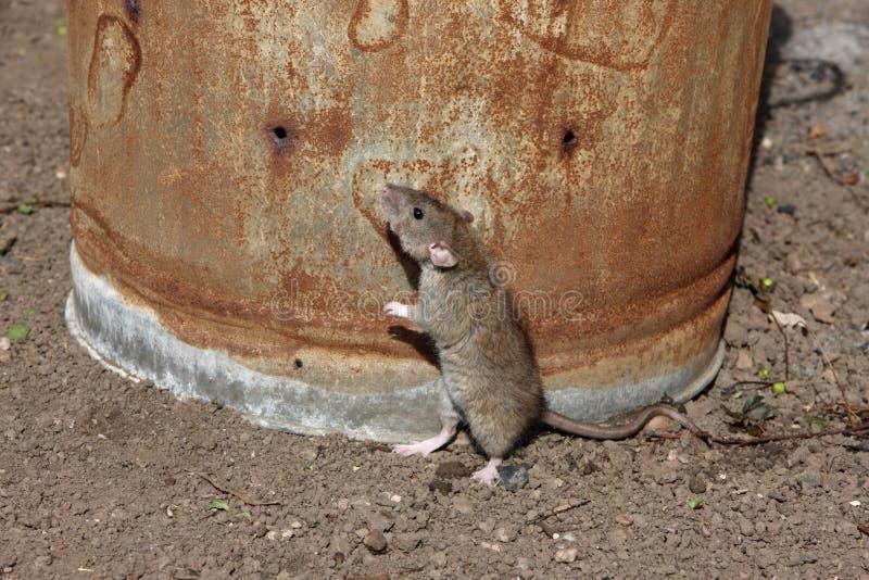 Крыса Брайна, norvegicus Rattus стоковое фото