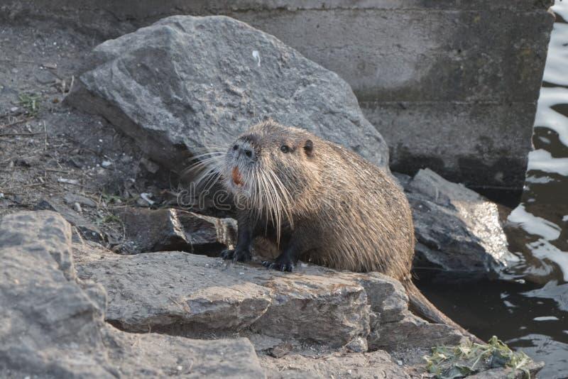 Крыса воды взбирается от воды к берегу стоковые изображения