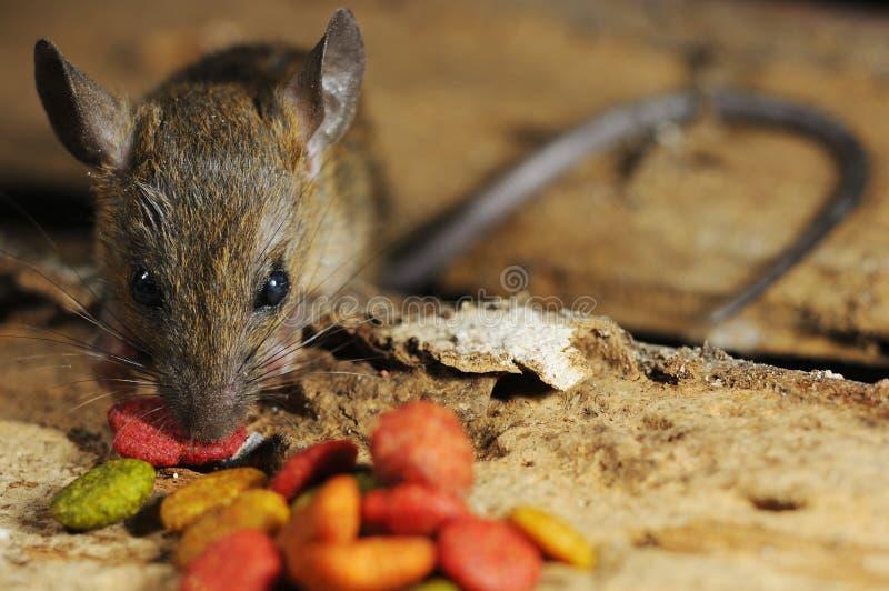 Download Крыса ворует ест питание стоковое фото. изображение насчитывающей angoras - 33735032