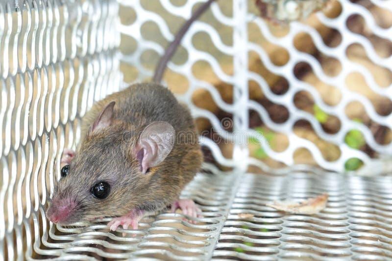 Крыса в клетке ловушка ловит дома стоковая фотография rf