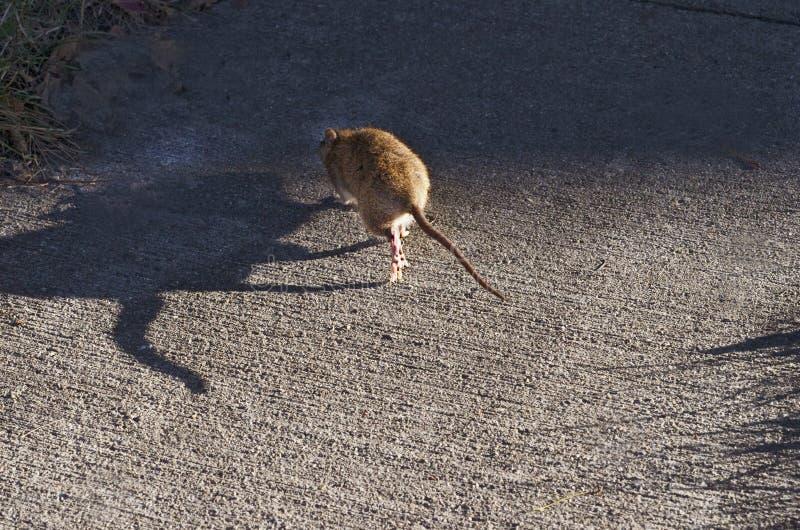 Крыса в дневном свете идя в тени стоковые изображения