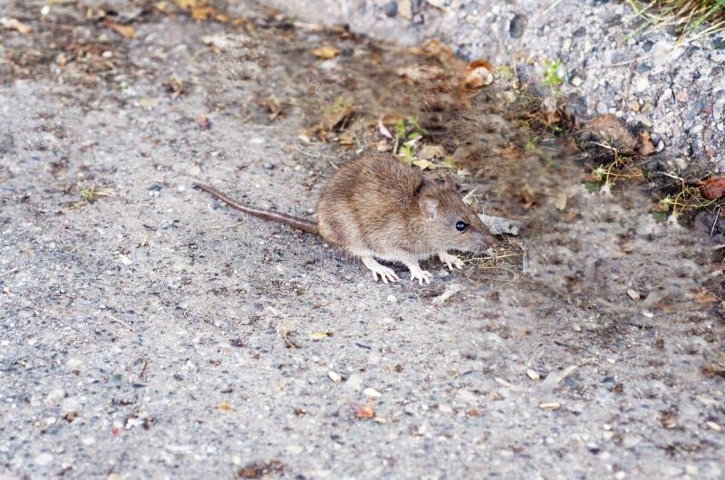 Крыса в улице стоковые фотографии rf