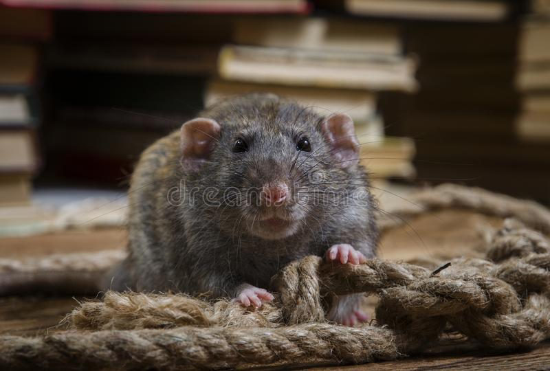 Крыса и веревочка стоковая фотография rf