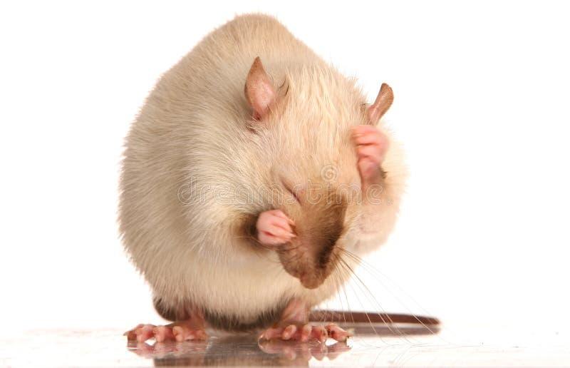 крыса любимчика холить стоковая фотография