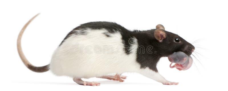 Крыса матери нося ее младенца в ее рте, 5 днях старых стоковое изображение rf