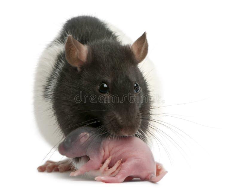 Крыса матери нося ее младенца в ее рте, 5 днях старых стоковое изображение