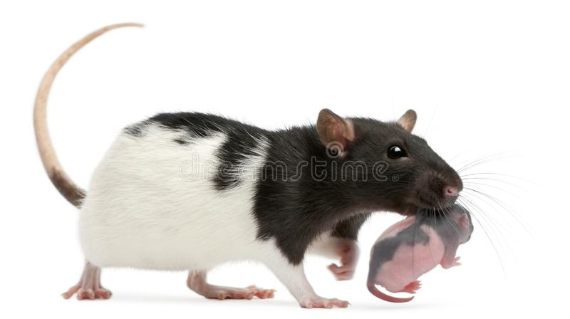 Крыса матери нося ее младенца в ее рте, 5 днях старых стоковая фотография