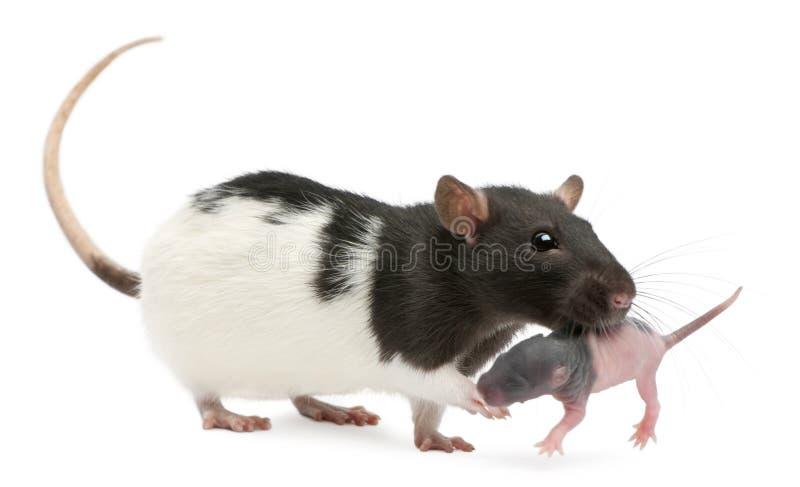 Крыса матери нося ее младенца в ее рте, 5 днях старых стоковая фотография rf