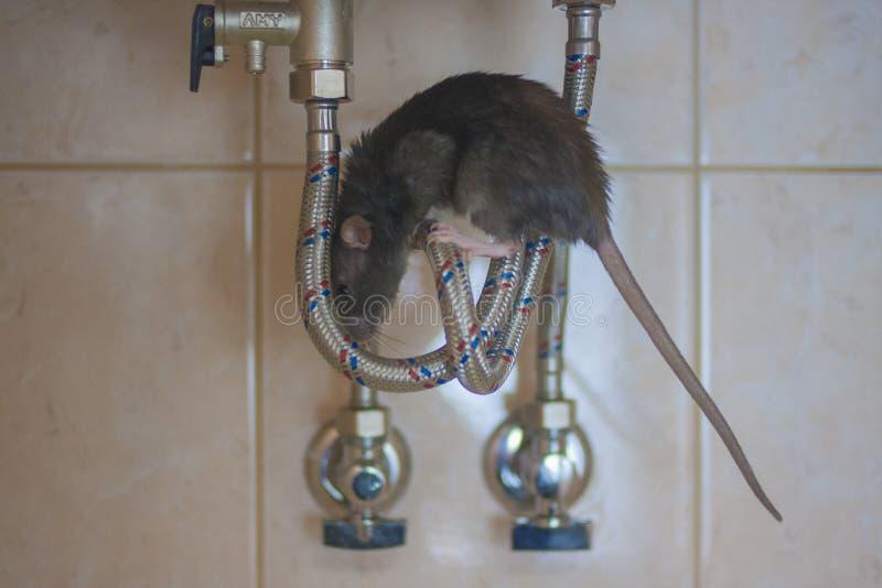 Крыса Мышь серая на проводах Грызун укусил провод стоковая фотография