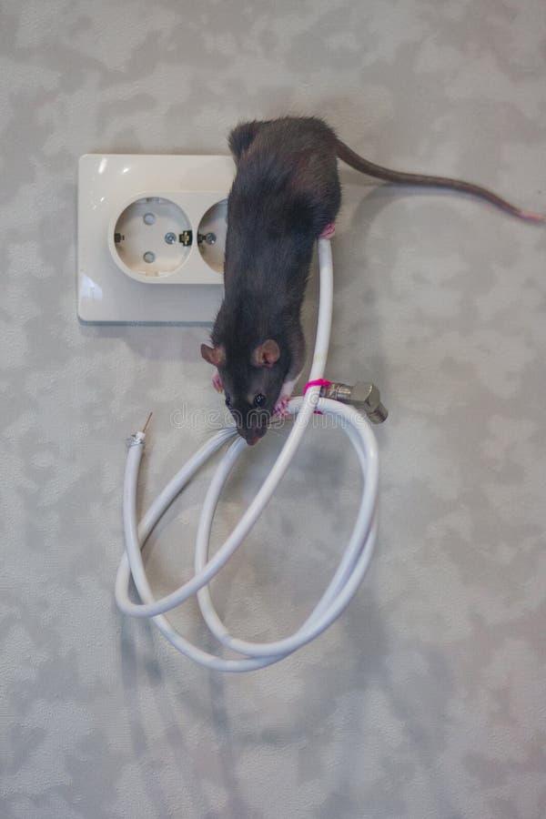 Крыса Мышь серая на проводах The стоковое изображение rf