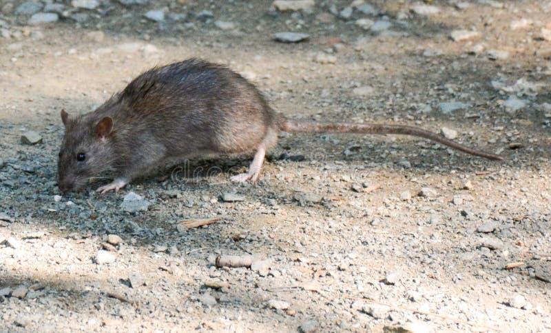 Крыса, общая крыса, Central Park, Нью-Йорк стоковое изображение rf