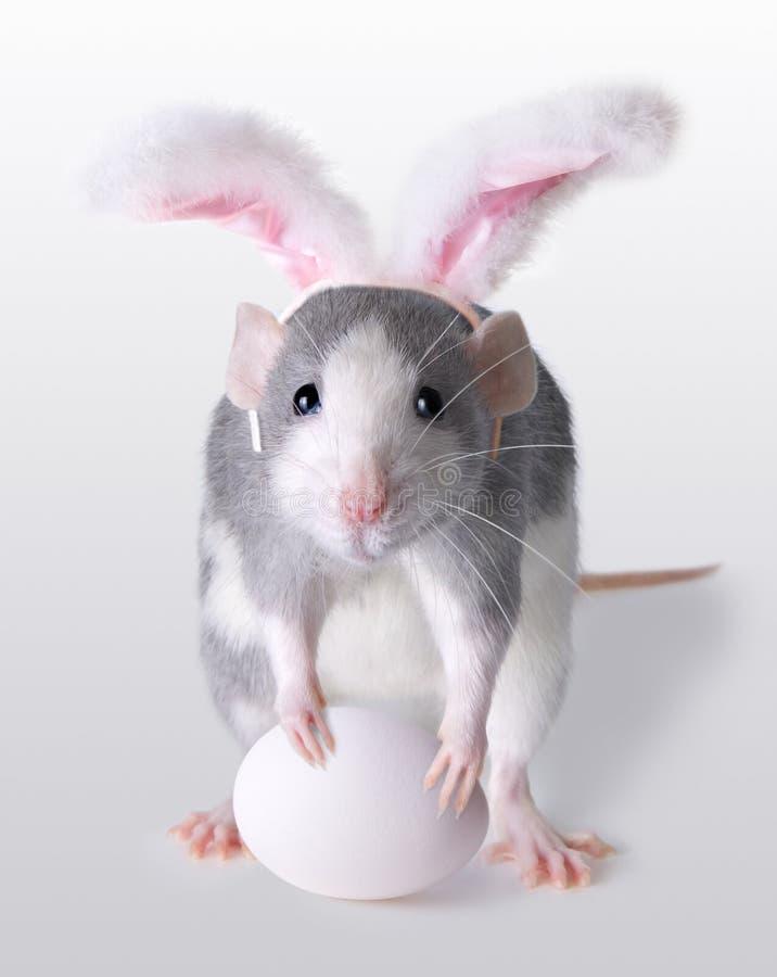 крыса пасхи Стоковые Фотографии RF