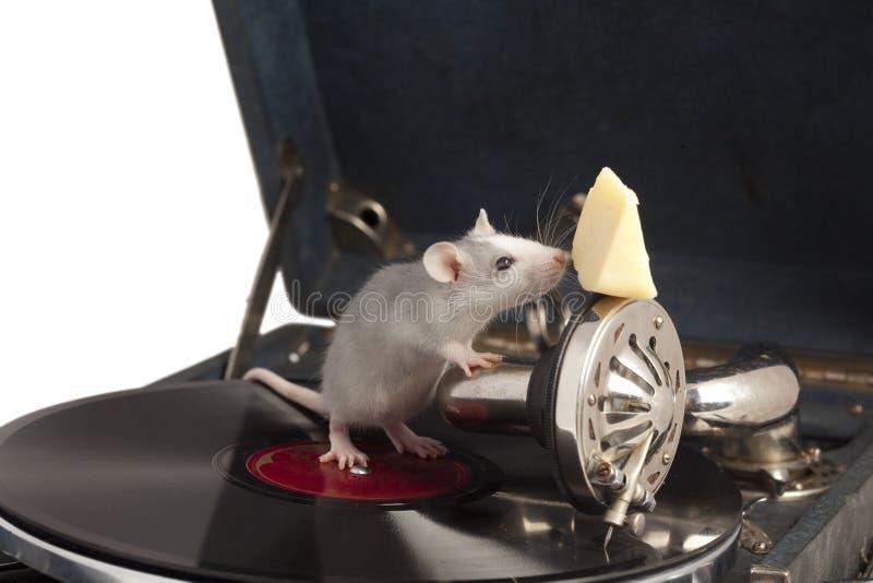 крыса патефона стоковое изображение rf