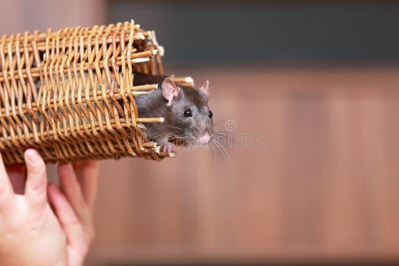 Крыса дружелюбного любимчика коричневая в плетеной корзине, животных дома стоковое фото rf