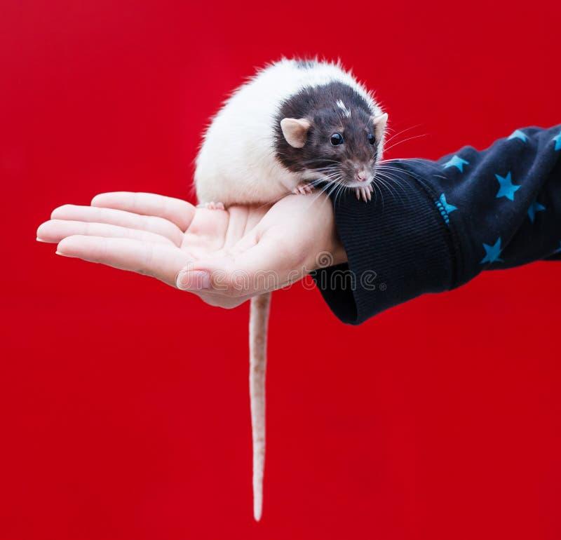 крыса руки стоковое фото