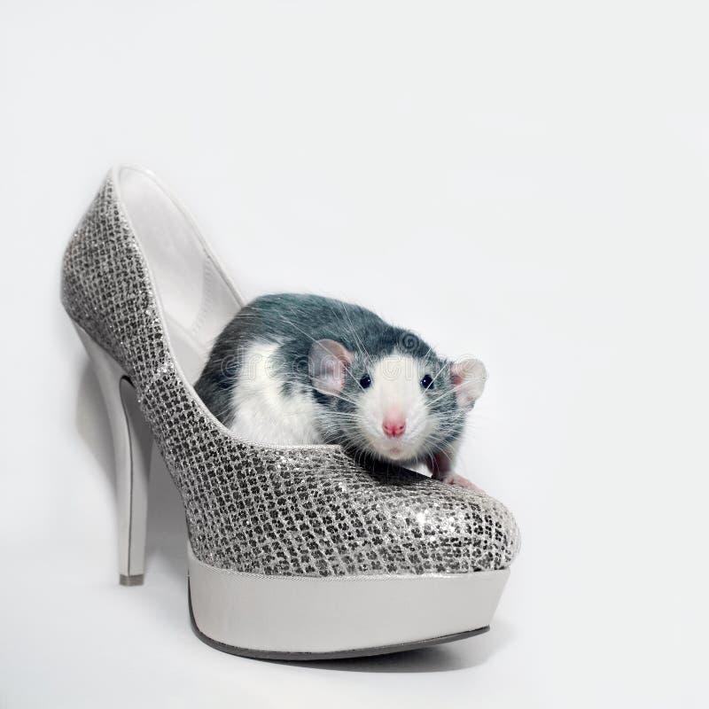 Крыса сидит в ботинке стоковые изображения rf