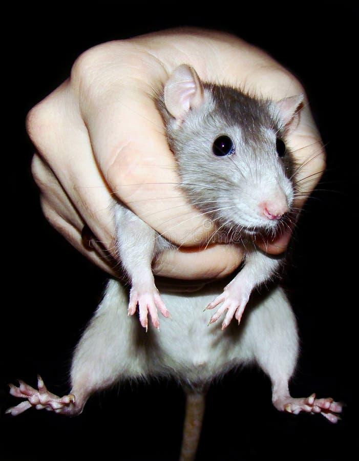 крыса хватки стоковое изображение rf