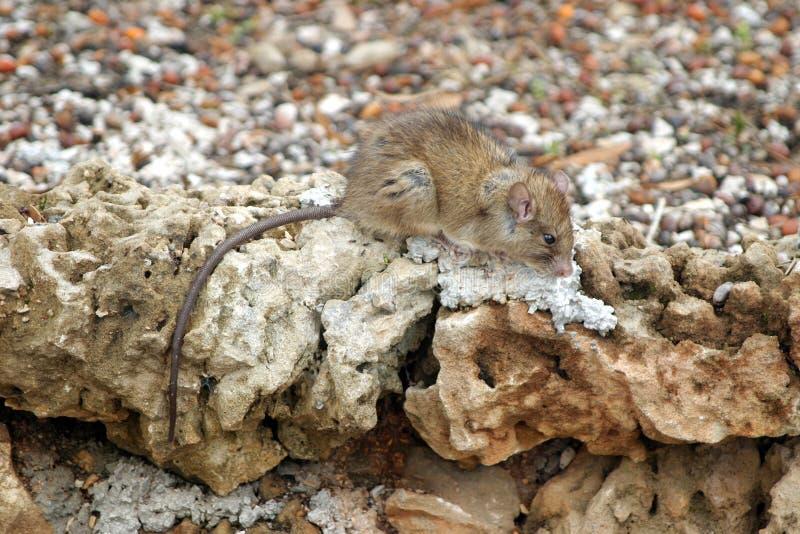 крыса стоковая фотография rf