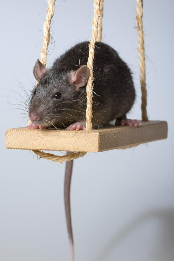 крыса стоковые изображения