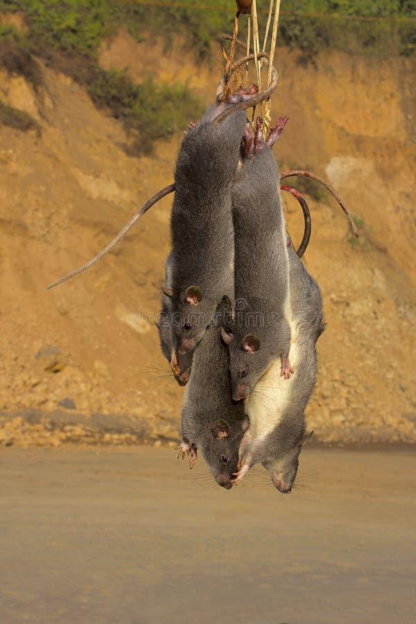 Крысы для продажи, Dimapur, Nagaland стоковые фотографии rf