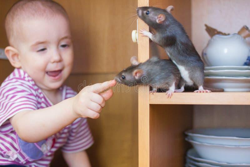 Крысы серые, и ребенок маленький Мышь серая стоковое изображение