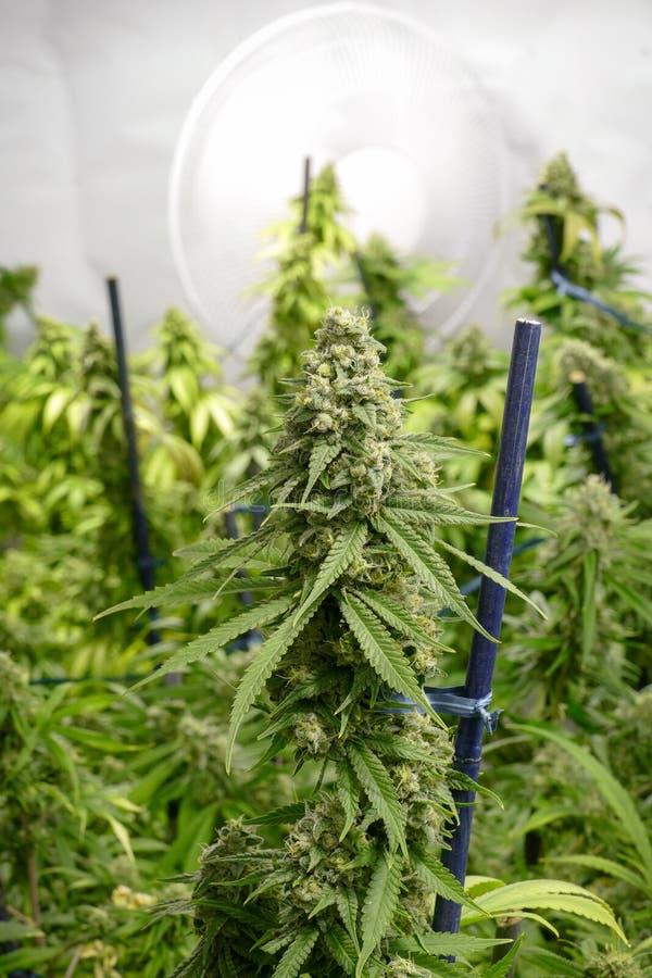 Крытый завод марихуаны цветя с большим бутоном вентилятором стоковые фото