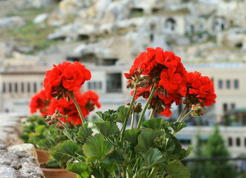 Крытый цветок гераниума растет летом в свежем воздухе на балконе стоковое изображение