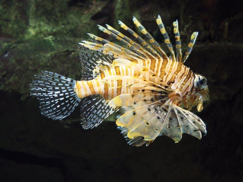 Крылатка-зебра рыб стоковые изображения