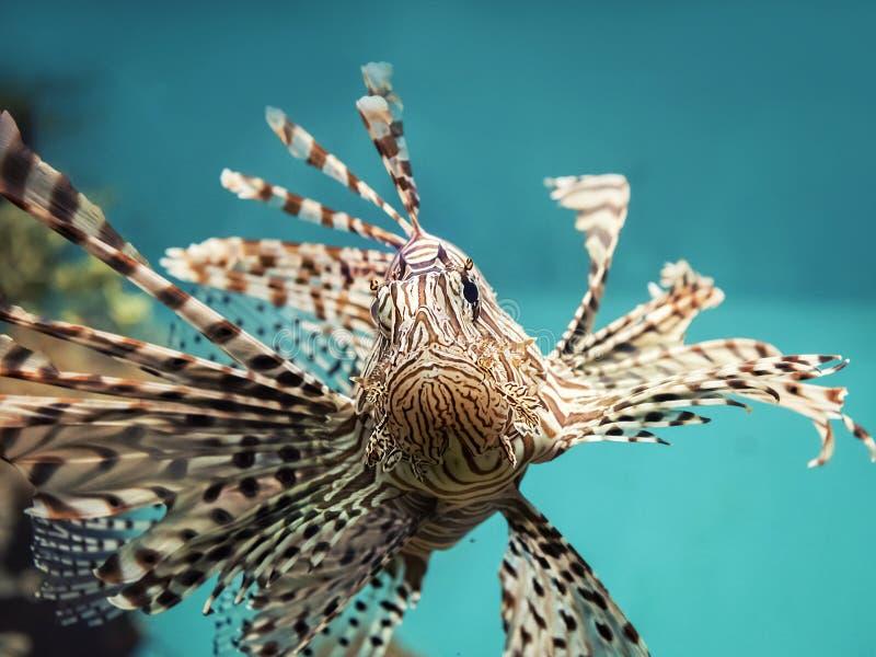 Крылатка-зебра ядовитых рыб кораллового рифа красная (volitans Pterois) стоковая фотография rf