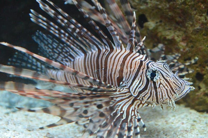 Крылатка-зебра стоковое изображение