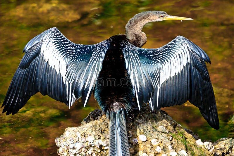 Крыла засыхания американской змеешейки стоковая фотография rf